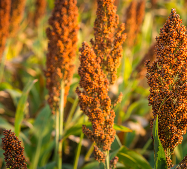 https://www.ccrp.org/wp-content/uploads/2020/09/Sorghum-Hero.jpg