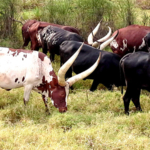 cattle in Uganda