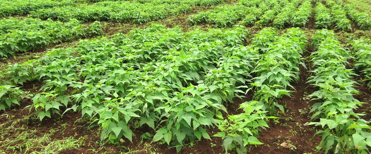 Field of legumes