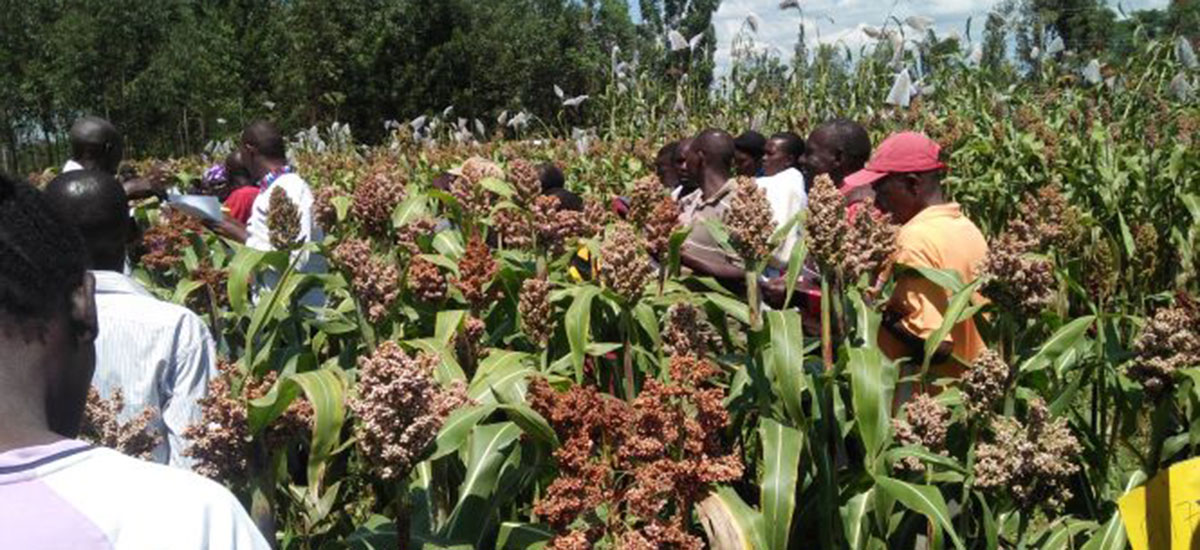Farmers engage in participatory variety selection in F3/F4 segregating sorghum population.
