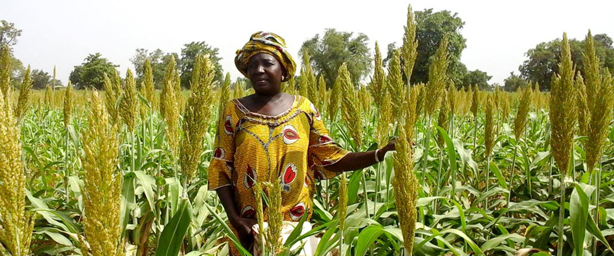 Sorghum hybrid parent seed producer in Mali